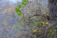 Wild berries (Shiva Shenoy) Tags: berries flowermound texas fall murrellpark