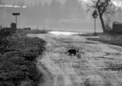 Bagheera z Jaktorowa // black panther (stempel*) Tags: polska poland polen polonia gambezia pentax k30 bagheera pantera panther black czarna jaktorów