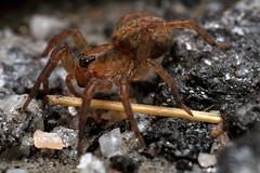 Spider with a Walking Stick - _TNY_9575 (Calle Söderberg) Tags: macro canon canon5dmkii canoneos5dmarkii canon5dmarkii 5d2 canonef100mmf28lmacroisusm raynox dcr250 flash godox thinklite tt685c plåtdiffusorv3 arachnida araneae lycosoidea lycosidae trochosa terricola wolfspider vargspindel wolfspinne spider spindel spinne björnspindel skogsbjörnspindel groundwolfspider orange erdwolfspinne stick araneomorphae f22