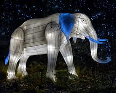 Elephant lantern (sharon'soutlook) Tags: animallantern lantern giantlantern cincinnatizoo festivaloflights 2019 elephant blue lights