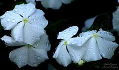 November Rain (ᗰᗩᖇᓰᗩ ☼ Xᕮ∩〇Ụ) Tags: november flowers blumen raindrops regentropfen σταγόνεσβροχήσ φύση λουλούδια νοέμβριοσ βροχή καταιγίδα nature natur