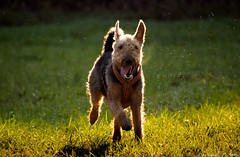Just for fun (Only Snatches) Tags: airedaleterrier bavaria bayern deutschland dog farbe fun germany herbst hund lebensfreude natur november oberpfalz tiere upperpalatinate animals color nature vitality