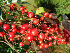 Berries. (dccradio) Tags: lumberton nc northcarolina robesoncounty outdoor outdoors outside nature natural samsung galaxy smj727v j7v cellphone cellphonepicture november morning goodmorning wednesday wednesdaymorning leaf leaves bush shrub berry berries