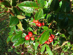 Green And Red. (dccradio) Tags: lumberton nc northcarolina robesoncounty outdoor outdoors outside nature natural samsung galaxy smj727v j7v cellphone cellphonepicture november morning goodmorning wednesday wednesdaymorning leaf leaves bush shrub berry berries