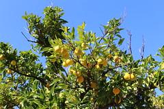Καλημέρα! ~ Good morning! :-) (Argyro Poursanidou) Tags: lemon tree sky colorful nature yellow greenflora autumn greece φύση λεμονιά δέντρο φθινόπωρο ελλάδα