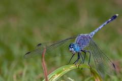 Ol' Blue Eyes - _TNY_3671 (Calle Söderberg) Tags: macro canon canoneos5dmarkii canon5dmkii blue insect dragonfly flash lawn perched meike odonata trollslända canonef100mmf28usmmacro trivialis diplacodes mk300 5d2 canon5dmarkii glassdiffusor grass vietnam phuquoc skimmer libellulidae phalerata percher segeltrollslända chalkypercher bluegroundskimmer braminea mercuryphuquocresortvillas libelluoidea blueeyes f16