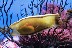 Egg of a Catshark (K.Verhulst) Tags: haai shark catshark kathaai oceanium oceaniumrotterdam diergaardeblijdorp rotterdam rotterdamzoo