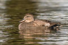 Gadwall (Glenn.B) Tags: bushypark london nature wildlife gadwall duck bird avian waterfowl water wildfowl
