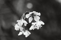 october cherry blossoms (Christine_S.) Tags: flowers floralphotography canoneosm5 ef100mmf28l bokeh monochrome blackandwhite flower closeup japan nature autumn macrophotography mirrorless raindrops waterdrops rain