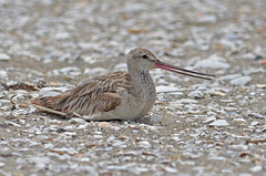 Bar-tailed Godwit (bevanwalker) Tags: beach estuary sand shelly d7000 nikon 300mmf28tc17e11 lens bird animal fresh sea water time photography outdoor native nature wildlife pose camouflage beak feathers moment pattern image wing eye watcher paradise newzealand 2019 spring