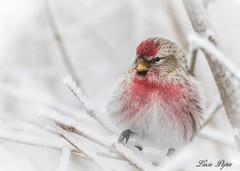Sizerin flammé (mâle) / Common Redpoll (male) (Lucie.Pepin1) Tags: oiseaux birds sizerin redpoll neige snow nature wildlife faune fauna luciepepin canon7dmarkii canon300mml