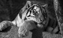 Forever watchful (Through-my-eyes.) Tags: alisha tiger bigcat carnivore stripe stripes eyes paws tree bw blackandwhite monochrome dartmoorzoo zoo