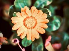 goudsbloem (delnaet) Tags: blume bloem fleur flower flor flora flores fantasticnature goudsbloem goldenflower souci sangredorada goldeneblume macrodreams