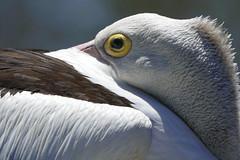 Almost asleep (Queen of the Swarm) Tags: palican australianpelican pelecanusconspicillatus waterbird seabird australianbird