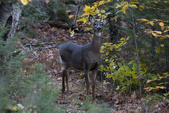 White-tailed Deer at Fall (RubénRamosBlanco) Tags: naturaleza nature animales wildlife mamíferos mammals whitetaileddeer odocoileusvirginianus ciervodecolablanca hembra female otoño fall adulta adult doe whitemountain nh usa