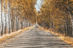 Road with autumn landscape of trees and yellow leaves (wuestenigel) Tags: fall autumn october natural landscape nature season vibrant foliage leaf day beauty birch background orange red environment trees november colorful road tree path outdoor golden beautiful outdoors park leaves yellow asphalt woods