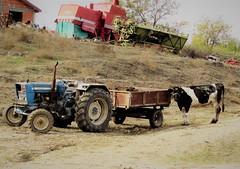 Milka's hidden life ;( (Nada BN) Tags: cow village rurallife makedonija knežje ovčepole peasants