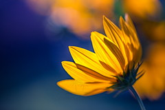 Delicate light (icemanphotos) Tags: flowers yellow blur soft light sunlight dream blue mood