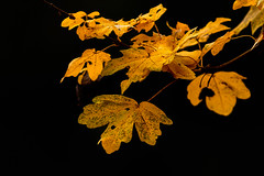 Golden (microwyred) Tags: backgrounds beautyinnature branch closeup events forestwoods forest goldcolored leaf mapletree multicolored nature october orangecolor outdoors plant season tree vibrantcolor autumn yellow