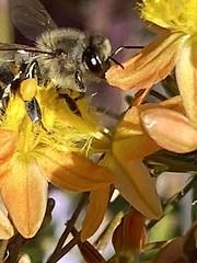 Honey bee (jamesgarland678) Tags: beautyinnature closeup nature flower bee insect