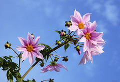 bell tree dahlias (Christine_S.) Tags: flowers pinkflowers sky efm55200mmf4563 canoneosm5 mirrorless japan nature flower bluesky clouds dahlia 皇帝ダリア dahliaimperialis ngc npc