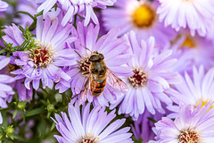 Purple flowers and bee collecting nectar (wuestenigel) Tags: closeup blossom natural color pollen season purple flower leaf bloom honey insect background nectar garden pollination summer beautiful macro honeybee bee petal nature violet green pollinator yellow plant detail