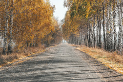 Birch trees with yellow leaves. Autumn road (wuestenigel) Tags: fall autumn october natural landscape nature season vibrant foliage leaf day beauty birch background orange red environment trees november colorful road tree path outdoor golden beautiful outdoors park leaves yellow asphalt woods