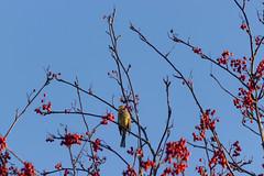 Yellowhammer (Steffe) Tags: gulsparv emberizacitrinella bird yellowhammer berries