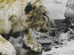 GETTING THE SHOT (eliewolfphotography) Tags: lion lions lionking conservation conservationphotography creative animals africa art artistic artwork artphotography tanzania tarangire