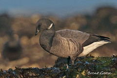 BRENT GOOSE // BRANTA BERNICLA (56-61cm) (tom webzell) Tags: naturethroughthelens