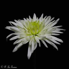 Chrysanthème (letexierpatrick) Tags: chrysanthème fleur flower fleurs flowers fondnoir noir black floraison nature bouquet botanique proxiphotographie plante france europe explore nikond7000 nikon