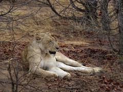 South Africa - Motswari - Lioness At Cape Buffalo Kill (JimP (in Sarnia)) Tags: south africa motswari game reserve lion lioness buffalo kill