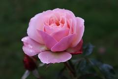 Rose (Hugo von Schreck) Tags: hugovonschreck rose flower blume macro makro canoneosm50 efm1545mmf3563isstm