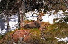 i raggiunti limiti (art & mountains) Tags: alpi alps natura capraibex bosco silenzio tranquillo riposo solitario incontri hiking esc esp emerito