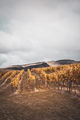 Vineyard Central Otago (paulphotographe) Tags: newzealand south island southisland aotearoa centralnz clouds tussock land sky wine mountains