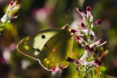 Colias croceus (7) (JoseDelgar) Tags: insecto mariposa coliascroceus 425852558733157 josedelgar naturethroughthelens coth sunrays5 coth5 ngc fantasticnature npc