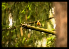 Erithacus rubecula (MarekOnski) Tags: erithacus rubecula rotkelchen fliegenschnäpper singvogel birds vögel ornithologie ornithology singvögel natur nature naturfotografie nikond7200 sigma 150600mm wald wildlife wildnis tierfotografie tiere animals