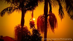 Bushfire Sunset-2 (Anthony S.) Tags: anthonys anthonysuperina seasonal sky sunset spring skies southernhemisphere skyscape weather weatherphtography bushfire bushfiresunset contrast contrastingskies catchycolours outdoors depthoffield dramaticskies dof samsung nature nofilter australia smokehaze bushfiresmoke hues amberhue catastrophicweather nswbushfires colour sunsets goldenhour lowlight