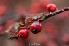 Cotoneaster berries (laszlofromhalifax) Tags: cotoneaster frontyard halifax novascotia canada berries