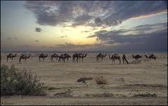 Dromedarios salvajes. (antoniocamero21) Tags: paisaje dromedarios atardecer desierto animales color foto sony composición cielo nubes eldjerid túnez