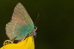 Callophrys rubi (6) (JoseDelgar) Tags: insecto mariposa callophrysrubi 425871888728943 josedelgar naturethroughthelens alittlebeauty coth coth5 ngc npc