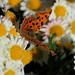 Asian comma butterfly (Polygonia c-aureum, キタテハ)