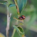 Seven-spotted ladybugs mating (Coccinella septempunctata, ナナホシテントウ)