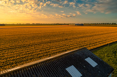 Fields of Gold. (Alex-de-Haas) Tags: dji dutch europa europe fc6310 holland nederland nederlands netherlands noordholland p4p phantom phantom4 phantom4pro aerial aerialphotography agriculture akkerbouw barn beautiful beauty bloemen bloemenvelden boerenland bollenvelden bulbfields farmland farming flowerfields flowers landbouw landscape landscapephotography landschaft landschap landschapsfotografie lente lucht luchtfotografie mooi polder pracht quadcopter schoonheid schuur shack shed skies sky spring sundown sunset tulip tulips tulp tulpen zonsondergang warmenhuizen northholland