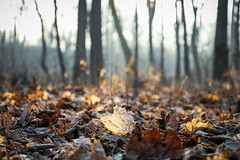 wintery forest (Yuki (8-ballmabelleamie)) Tags: deadleaves fallenleaves frosty foliage crunchy morning sunray sunbeam glow hazy forest woods grove park nature lowposition canoneos6dmarkii canonef24105mmf3556isstm
