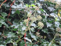 Thursday, 21st, Autumn in the garden IMG_2929 (tomylees) Tags: essex morning autumn november 2019 21st thursday garden ivy leaves berries
