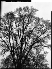 Trees are my models (Uta_kv) Tags: fujicolor expiredfilm expiredkodak 4x5
