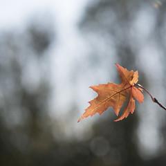 Feuille d'automne (Titole) Tags: leaf shallowdof titole nicolefaton squareformat bokeh