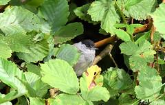 Fauvette à tête noire mâle 07 (Jean-Daniel David) Tags: oiseau passereau fauvette fauvetteàtêtenoire mâle arbre forêt perchoir perché nature faune feuille feuillage vert verdure réservenaturelle grandecariçaie yverdonlesbains suisse suisseromande vaud nikon nikond5600 tamronspaf150600mmf563a022 fabuleuse