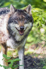 Last wolf picture (Tambako the Jaguar) Tags: wolf canid canine dog standing posing portrait face openmouth friendly smiling vegetation forest bratislava zoo slovakia nikon d5